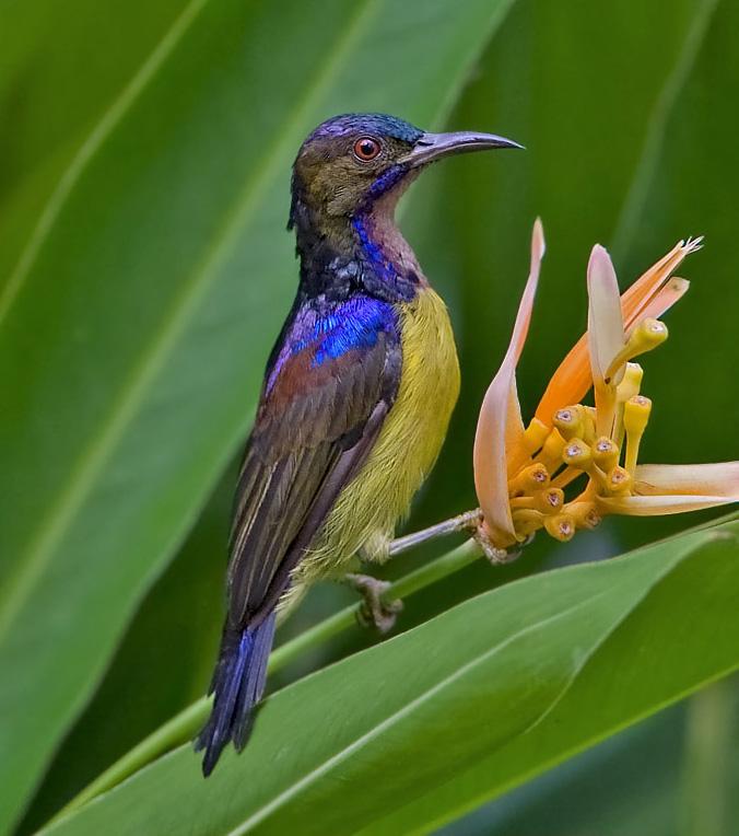 Birds Sunbird: Brown-throated Sunbird