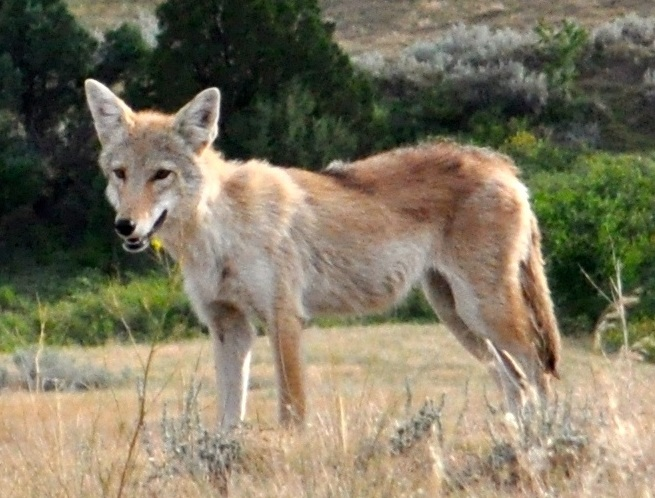 http://upload.wikimedia.org/wikipedia/commons/3/38/Canis_latrans_latrans_Pennington_County_SD.jpg