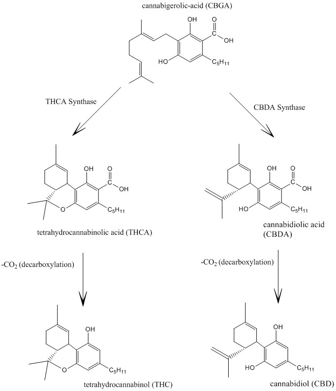 File:Cannabidiol and THC Biosynthesis.jpg