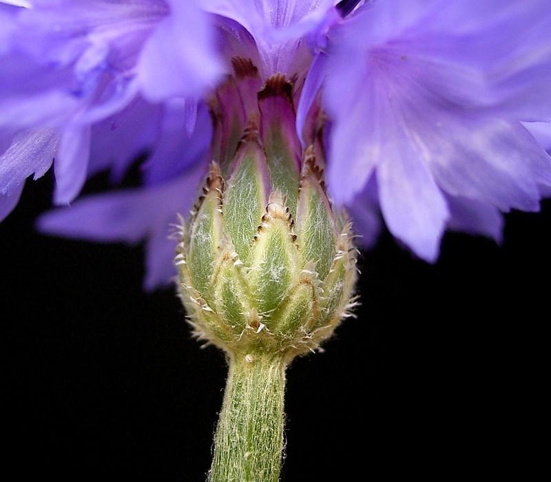 Centaurea cyanus: detalle del involucro.