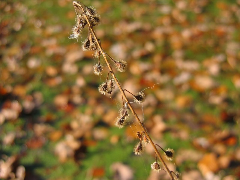 File:Circaea lutetiana fruechte.jpeg
