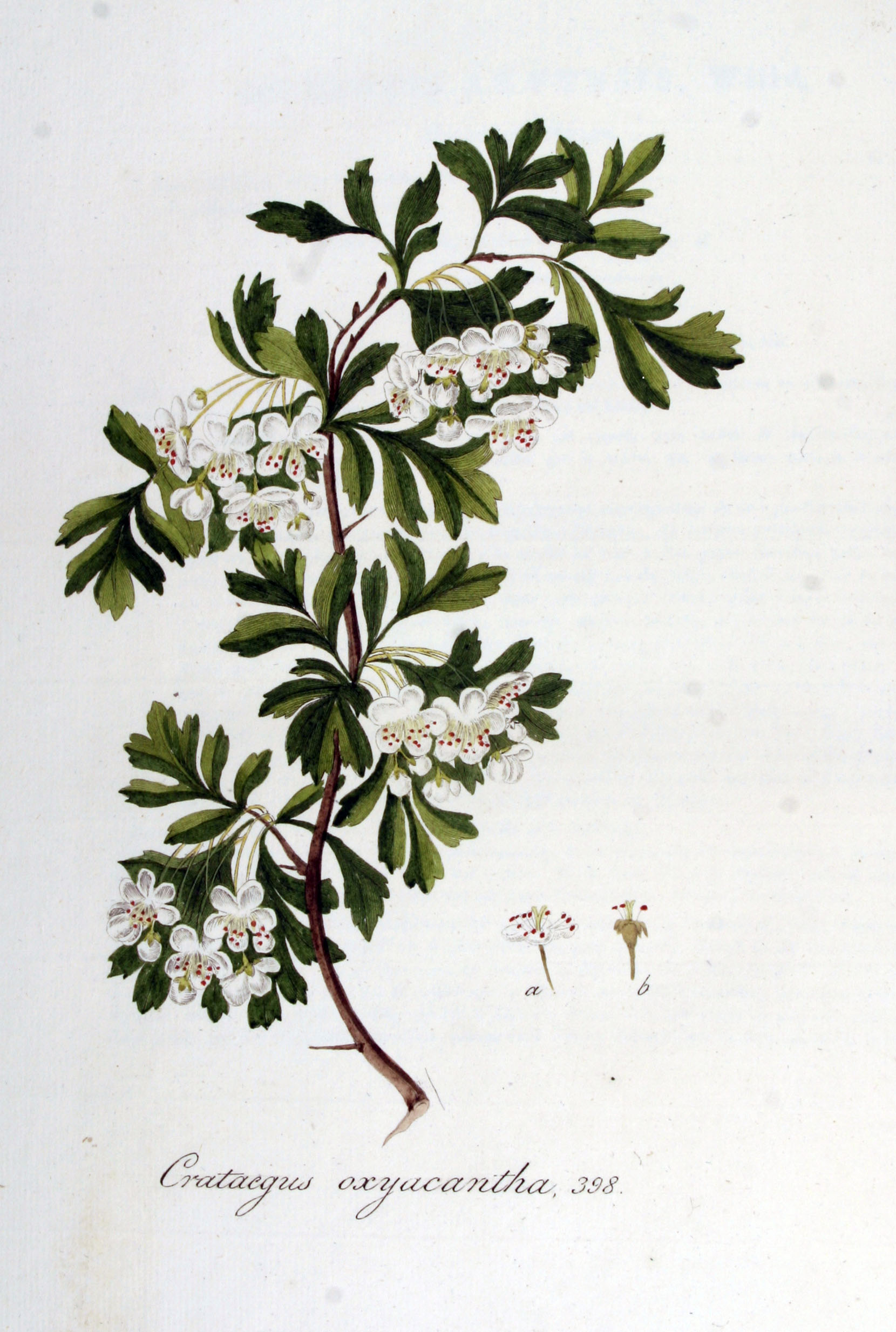 Crataegus Monogyna Drawing File:crataegus Oxyacantha