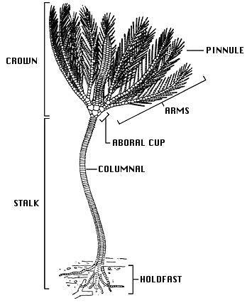 Морфология стебельковой морской лилии