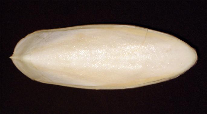 Bestand:Cuttlebone.jpg