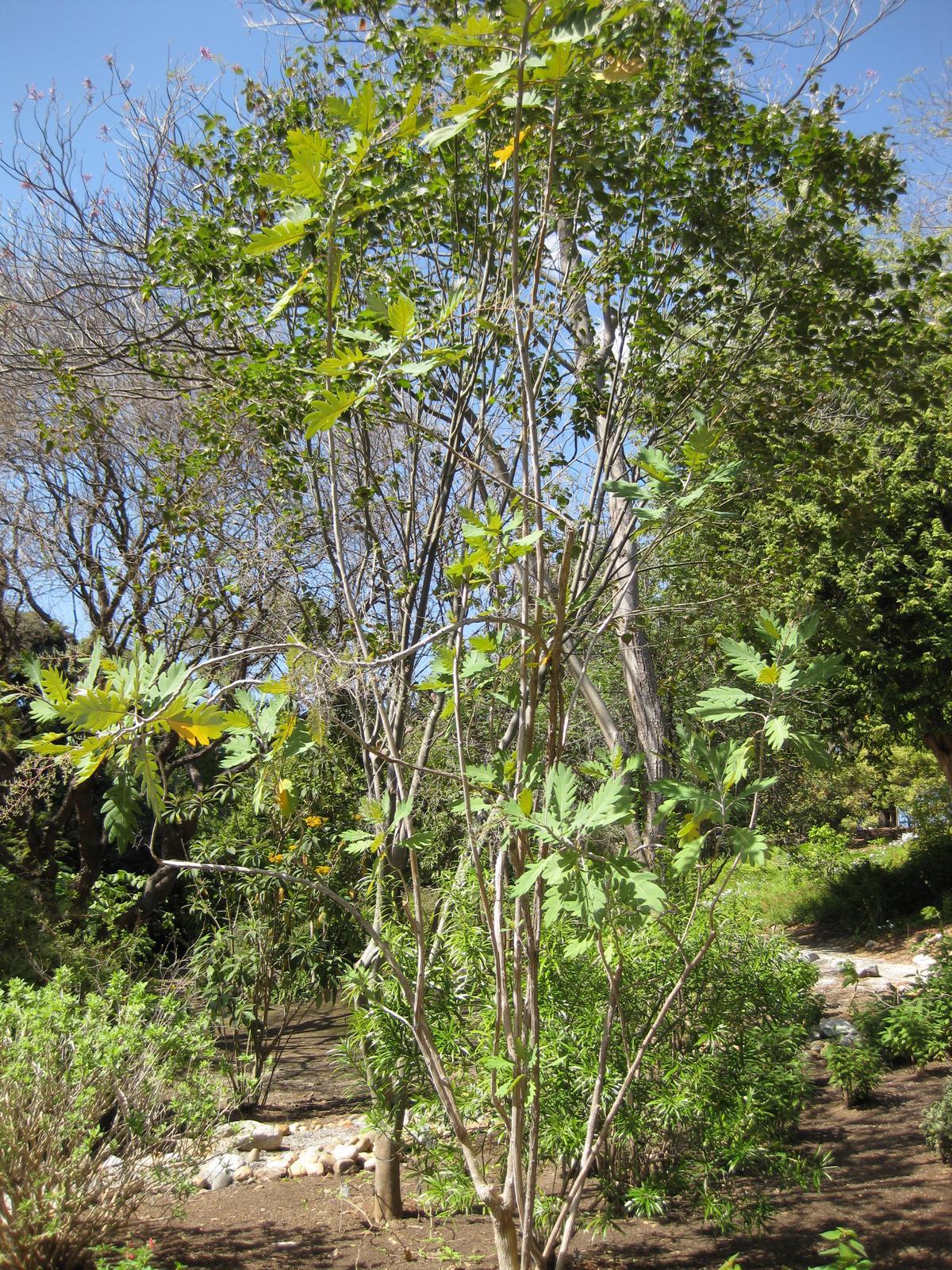 Bocconia Arborea Wikispecies