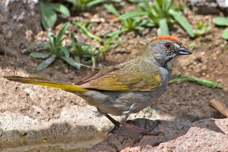 Green-tailed Towhee 2