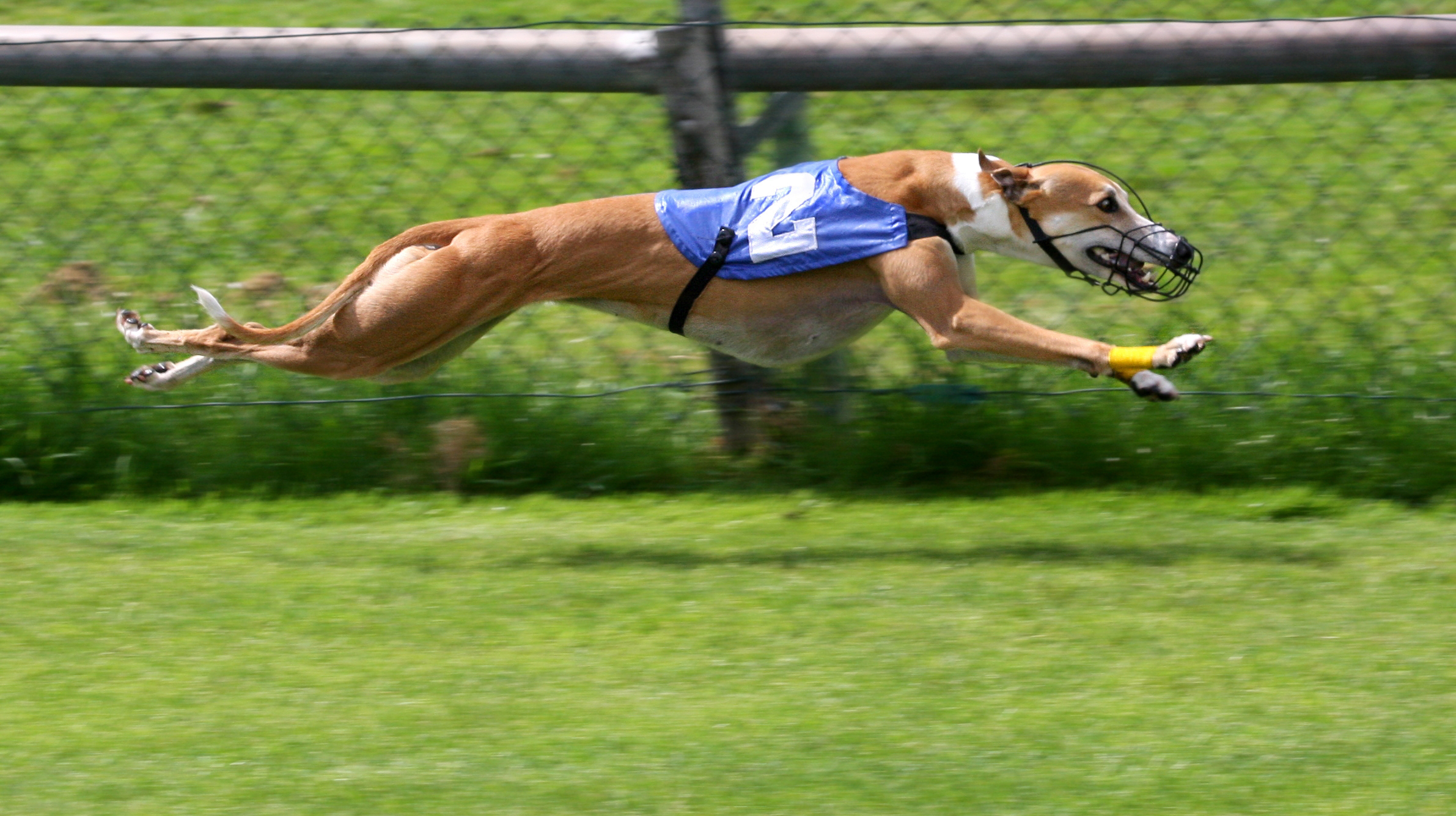 A racing Greyhound at full extension