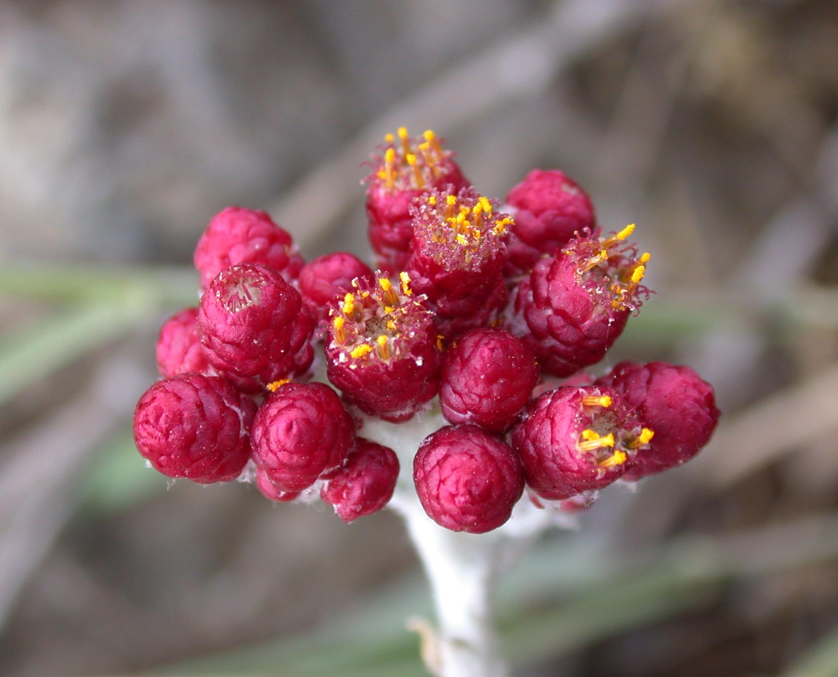 Helichrysum sanguineum 1.jpg