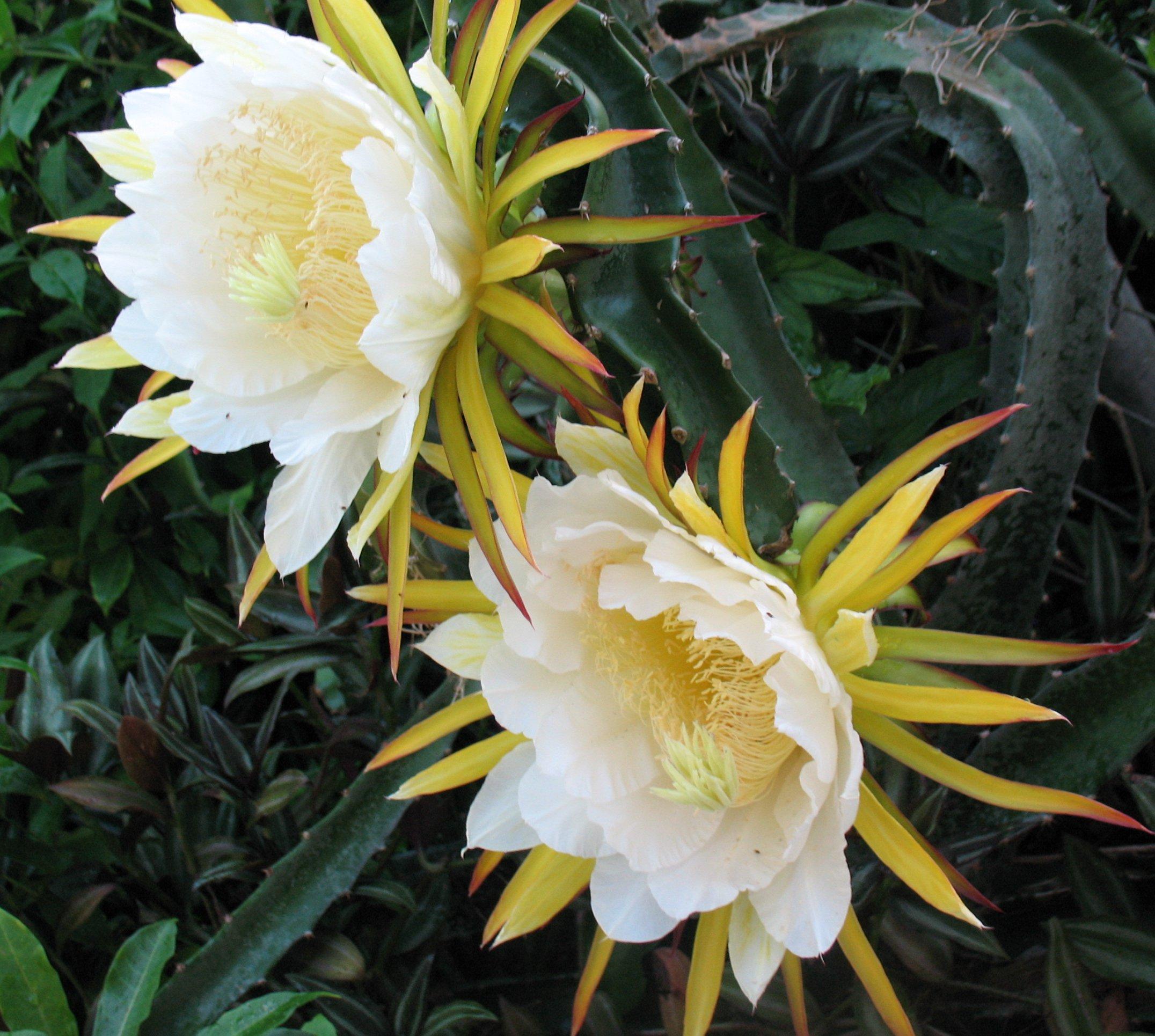 Pitahaya Costa Rica Pitahaya Costa Rica