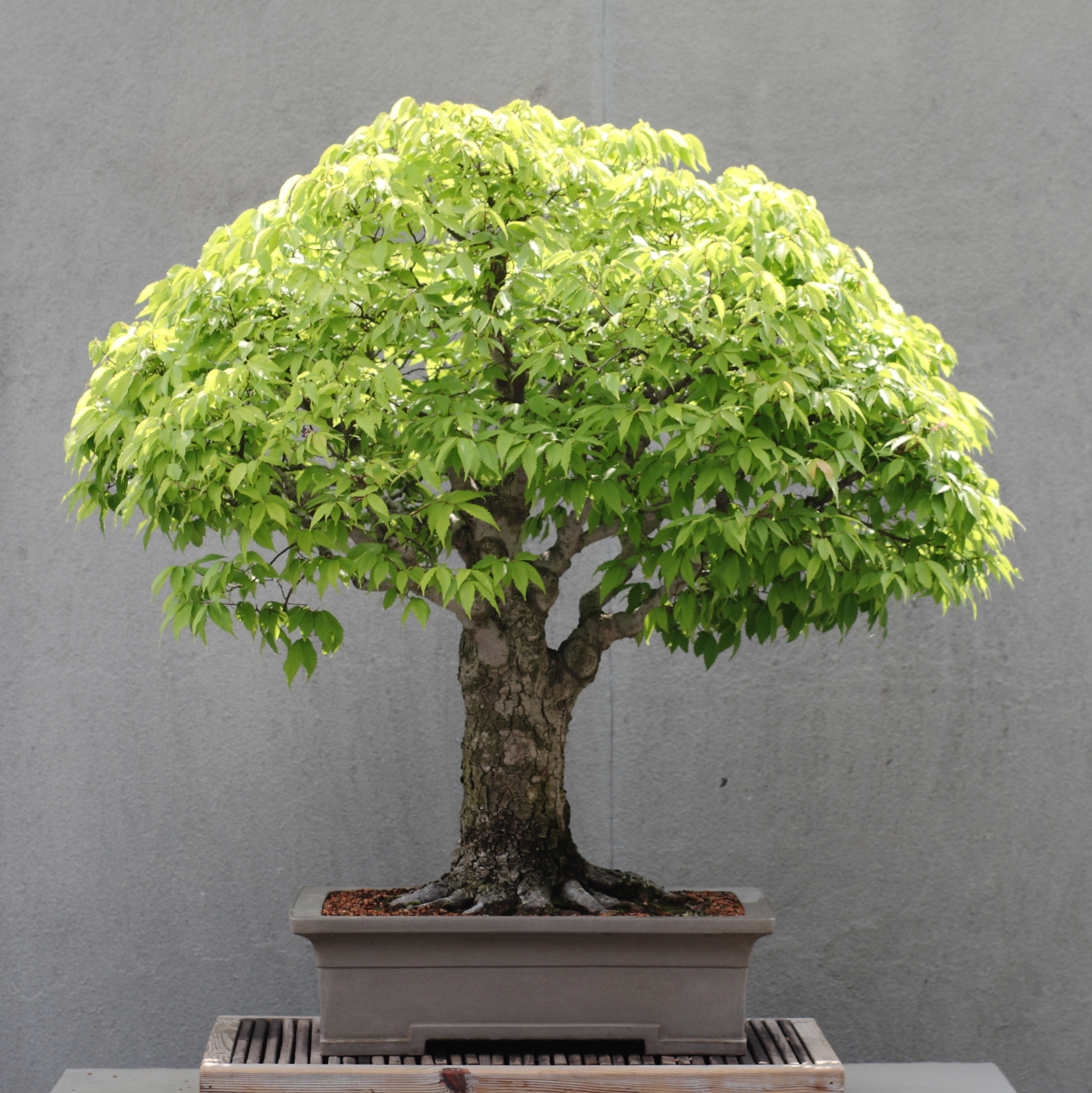 file japanese zelkova bonsai 16 2011 05