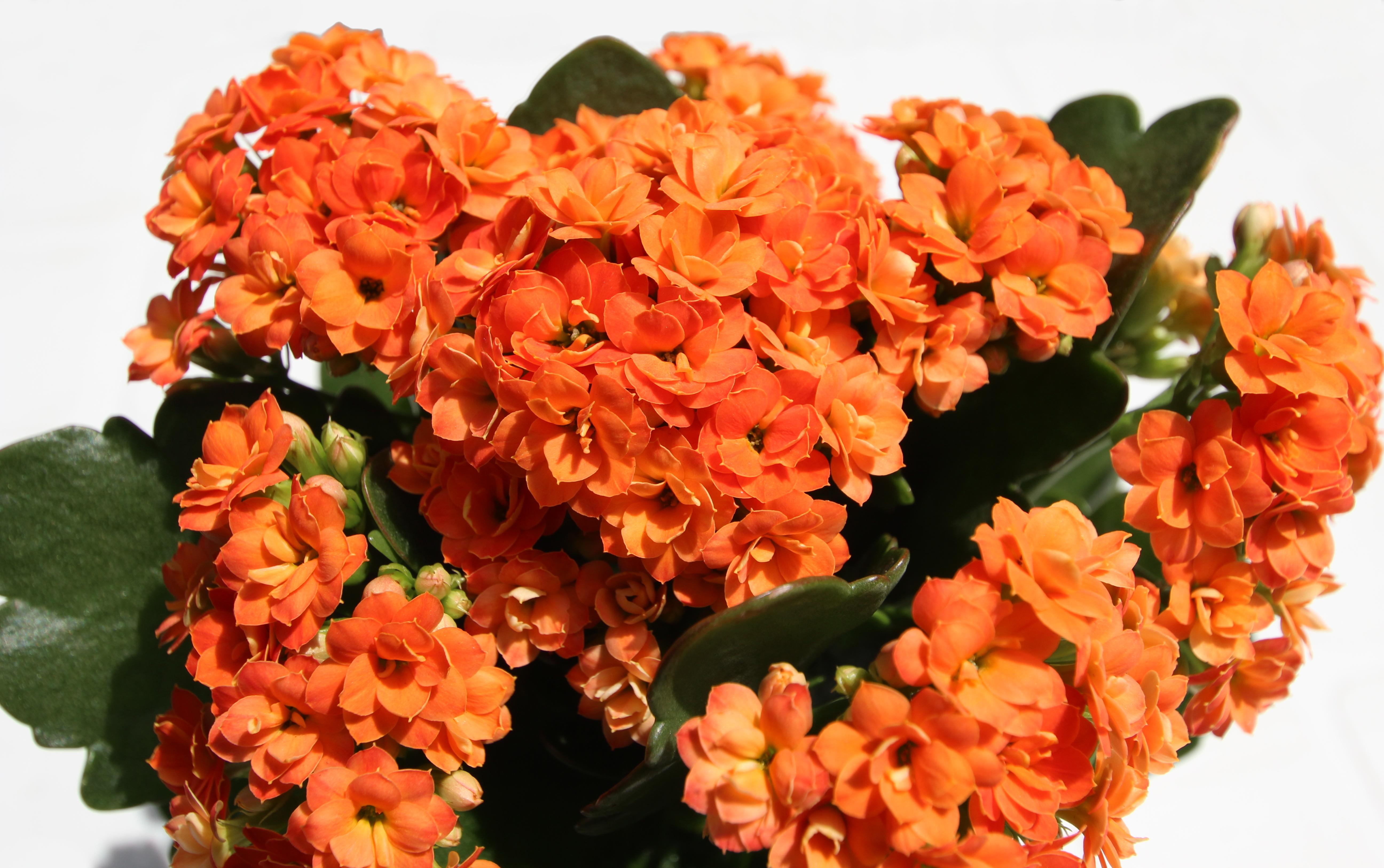 File Kalanchoe Blossfeldiana Forme Horticole A Fleurs Doubles 4