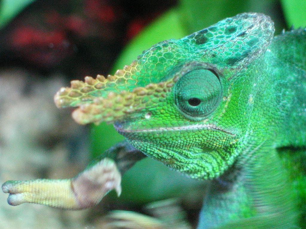 File Kinyongia Matschiei Tuen Mun Reptile House Hong