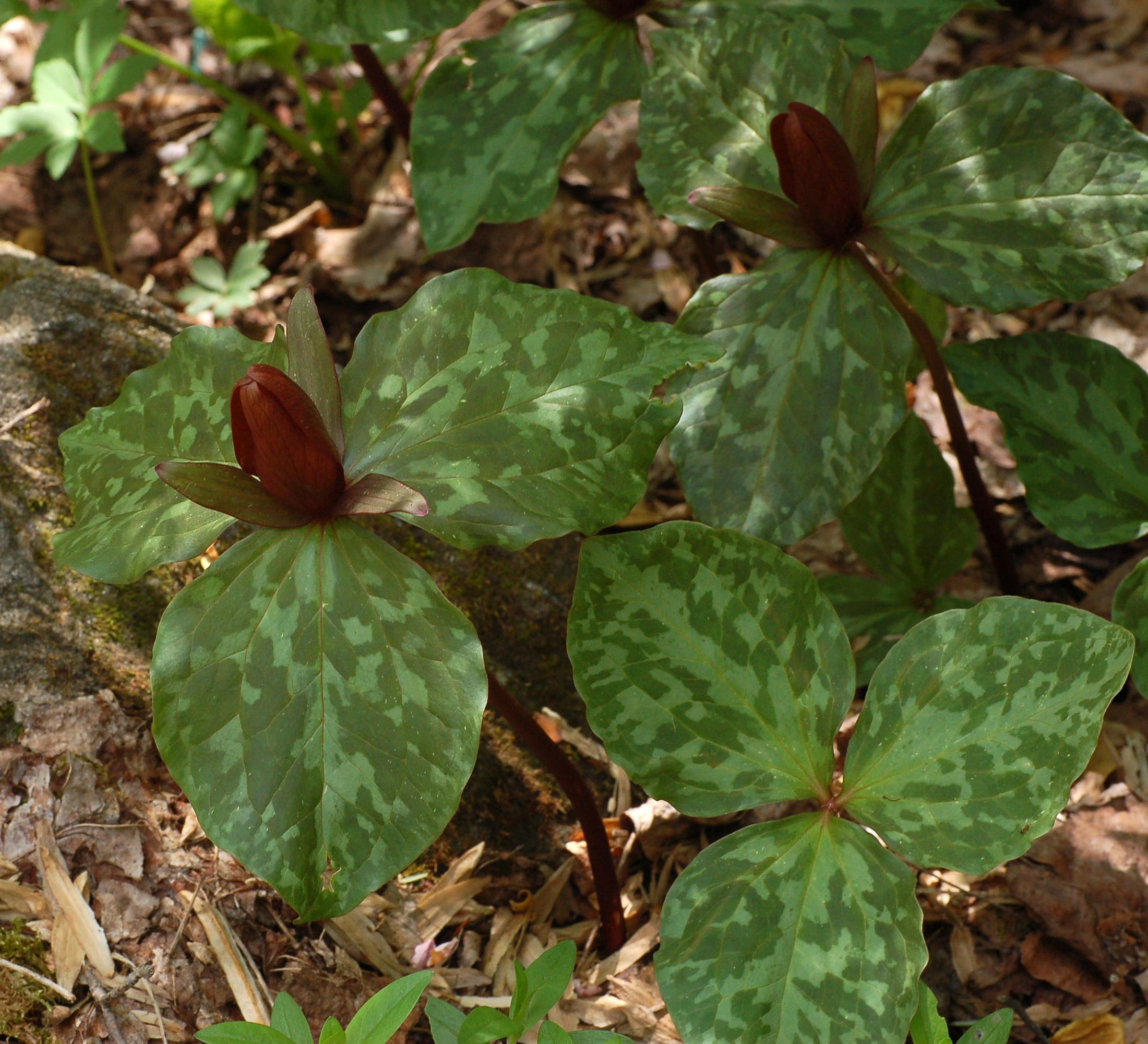 Toadshade Trillium Sessile File Large Toadshade Trillium