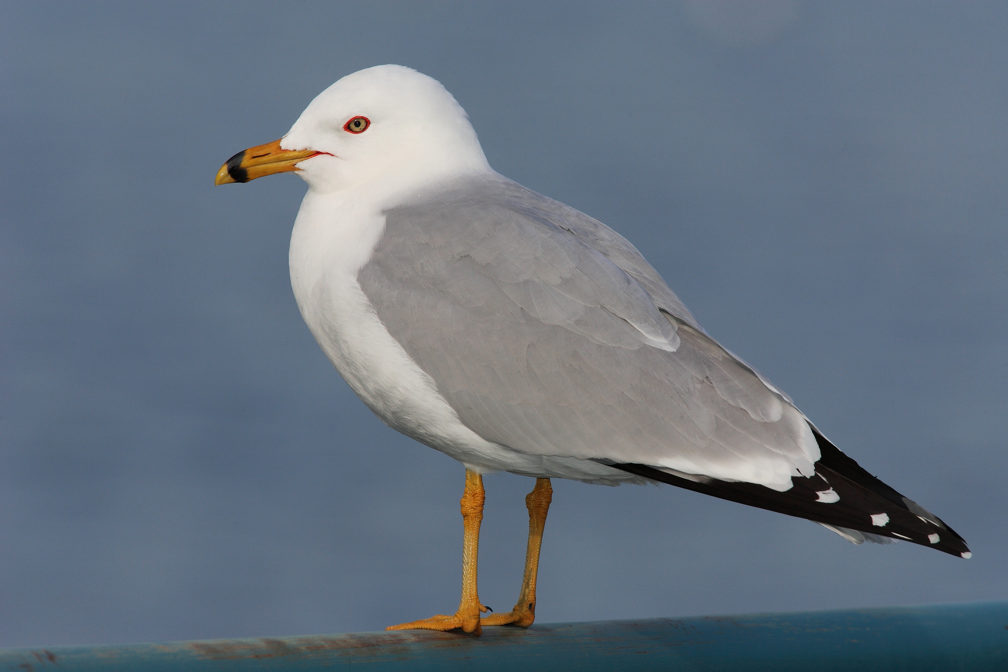 Ring-billed gull - Wikiwand