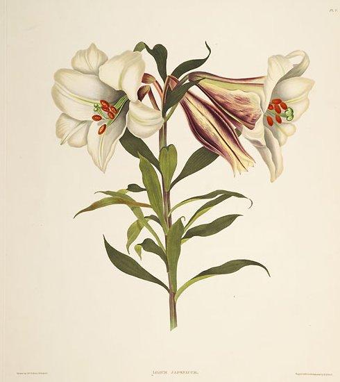 File:Lilium japonicum 2 (lit).jpg