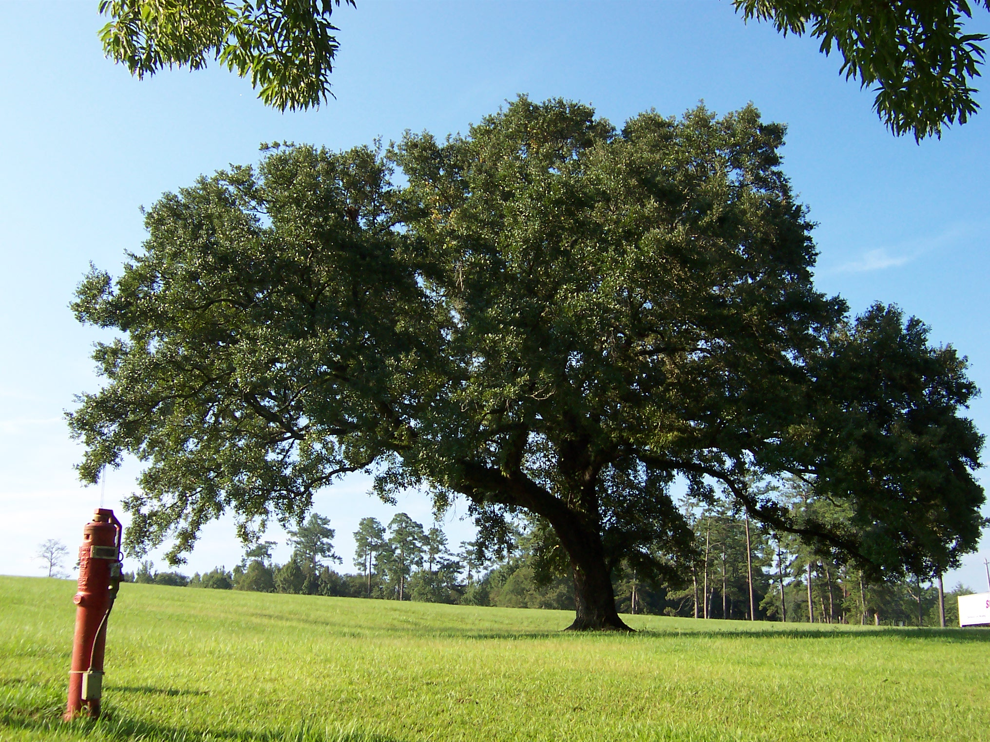 live oak dating List of oldest trees jump to  coast live oak quercus agrifolia: temecula,  was established using carbon dating and genetic matching.