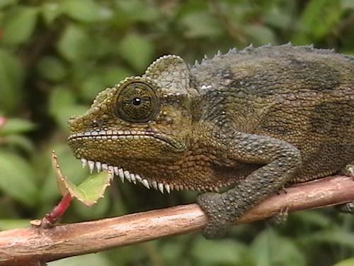 Ficheiro:Lizard kenya.jpg