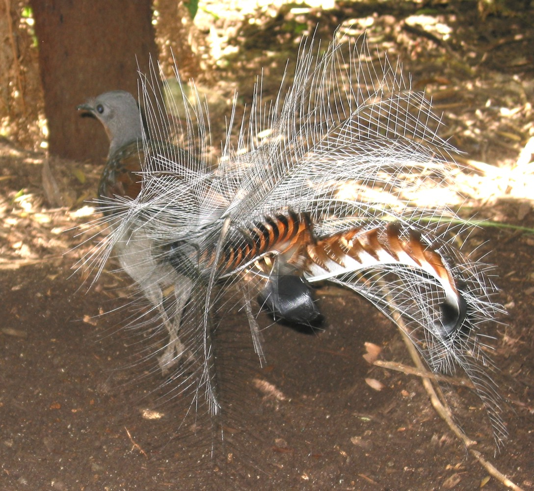 http://upload.wikimedia.org/wikipedia/commons/3/38/Lyrebird.jpg