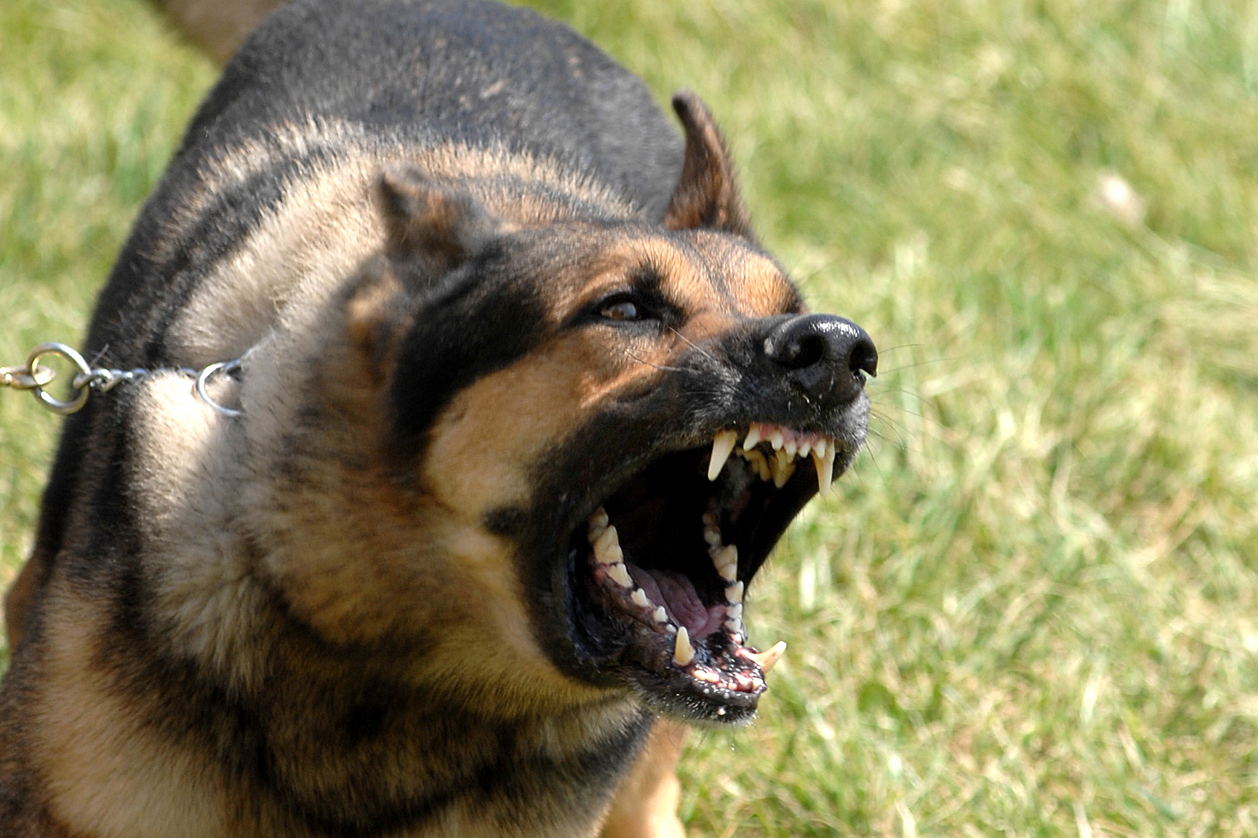 Description Military dog barking.JPG