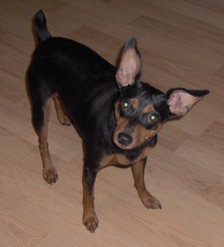 Pinscher miniatura - Dog Scanner