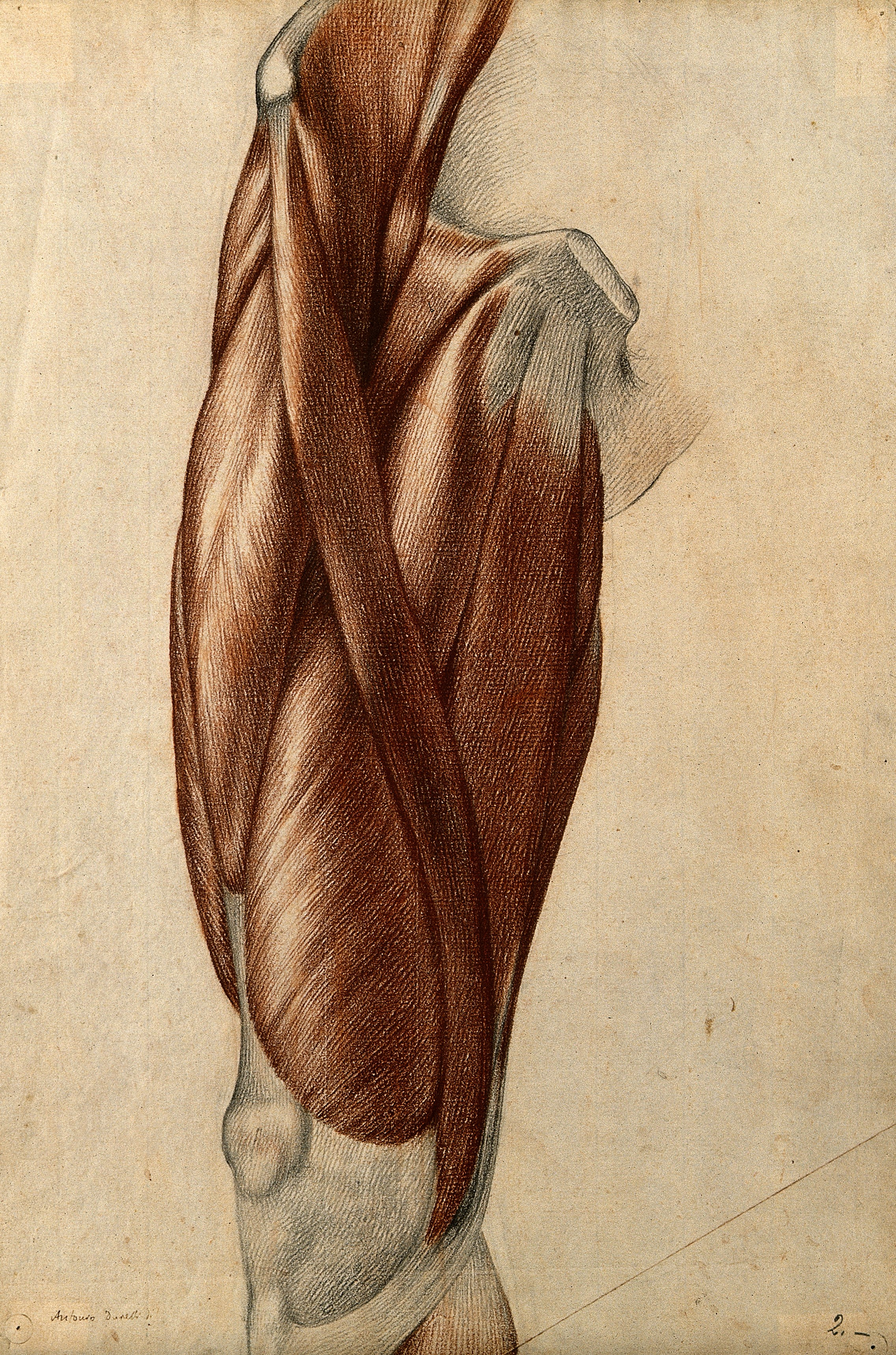 File:Muscles and tendons of the thigh. Red chalk and pencil drawi ...