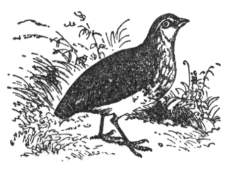http://upload.wikimedia.org/wikipedia/commons/3/38/NSRW_Common_Quail.png