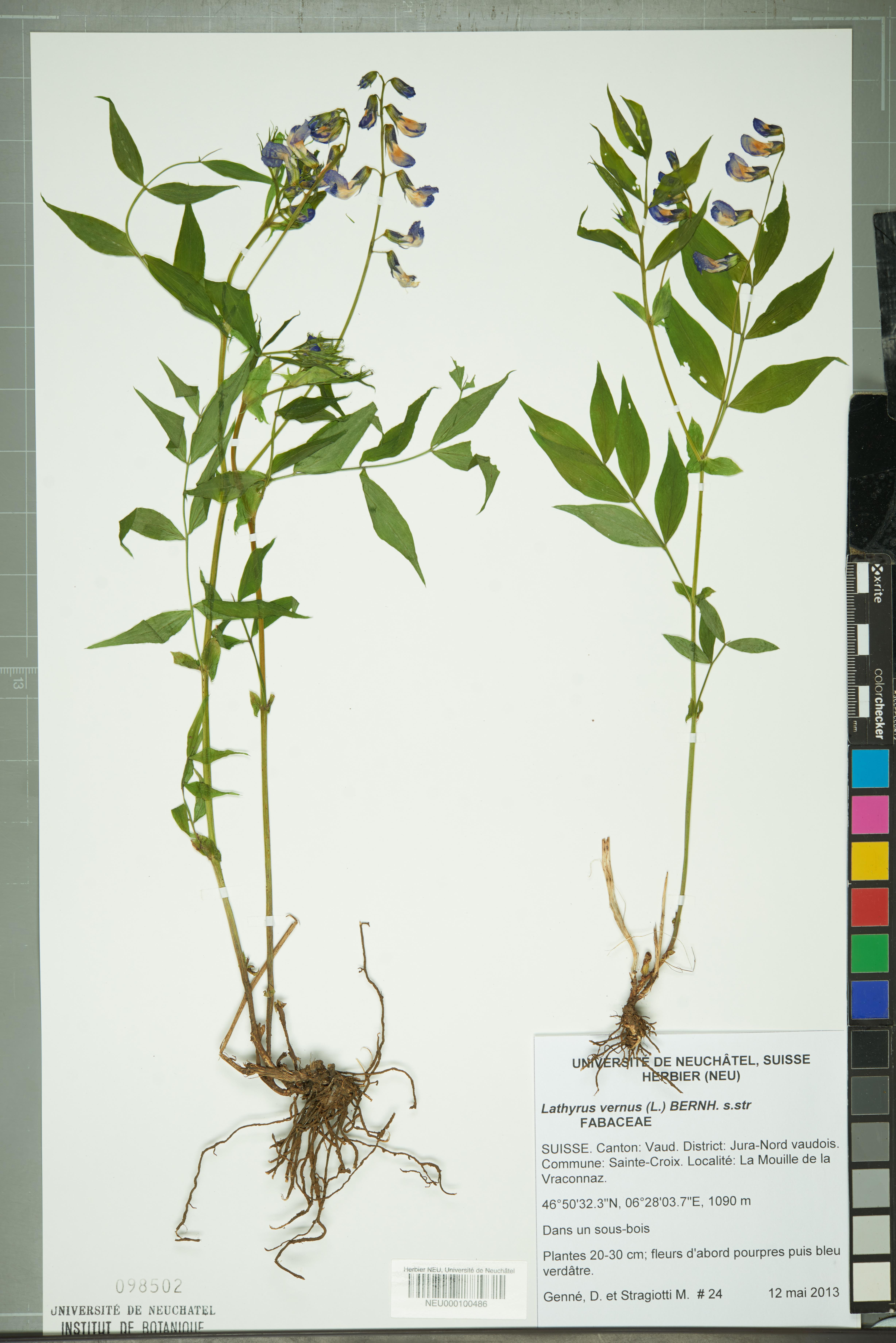 Fleur De Sous Bois Bleue file:neuchâtel herbarium - lathyrus vernus - neu000100486