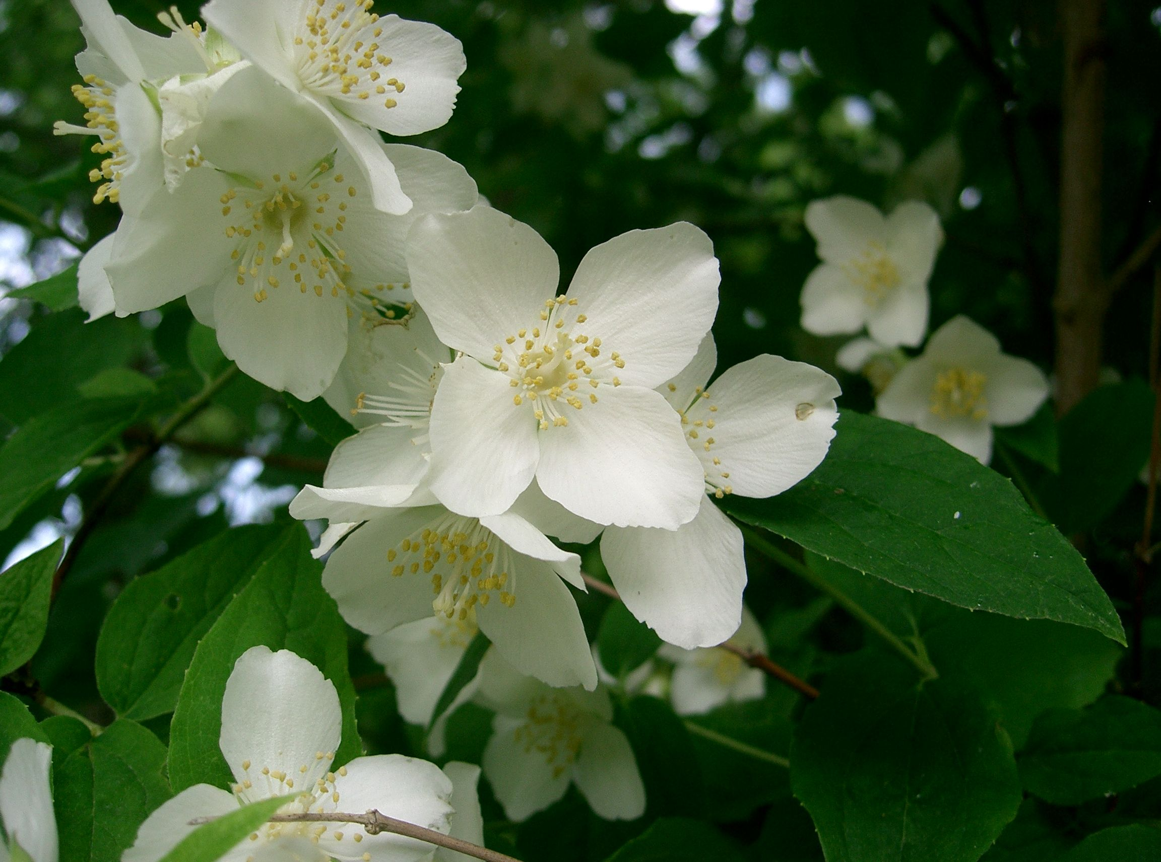Mock Orange Shrub