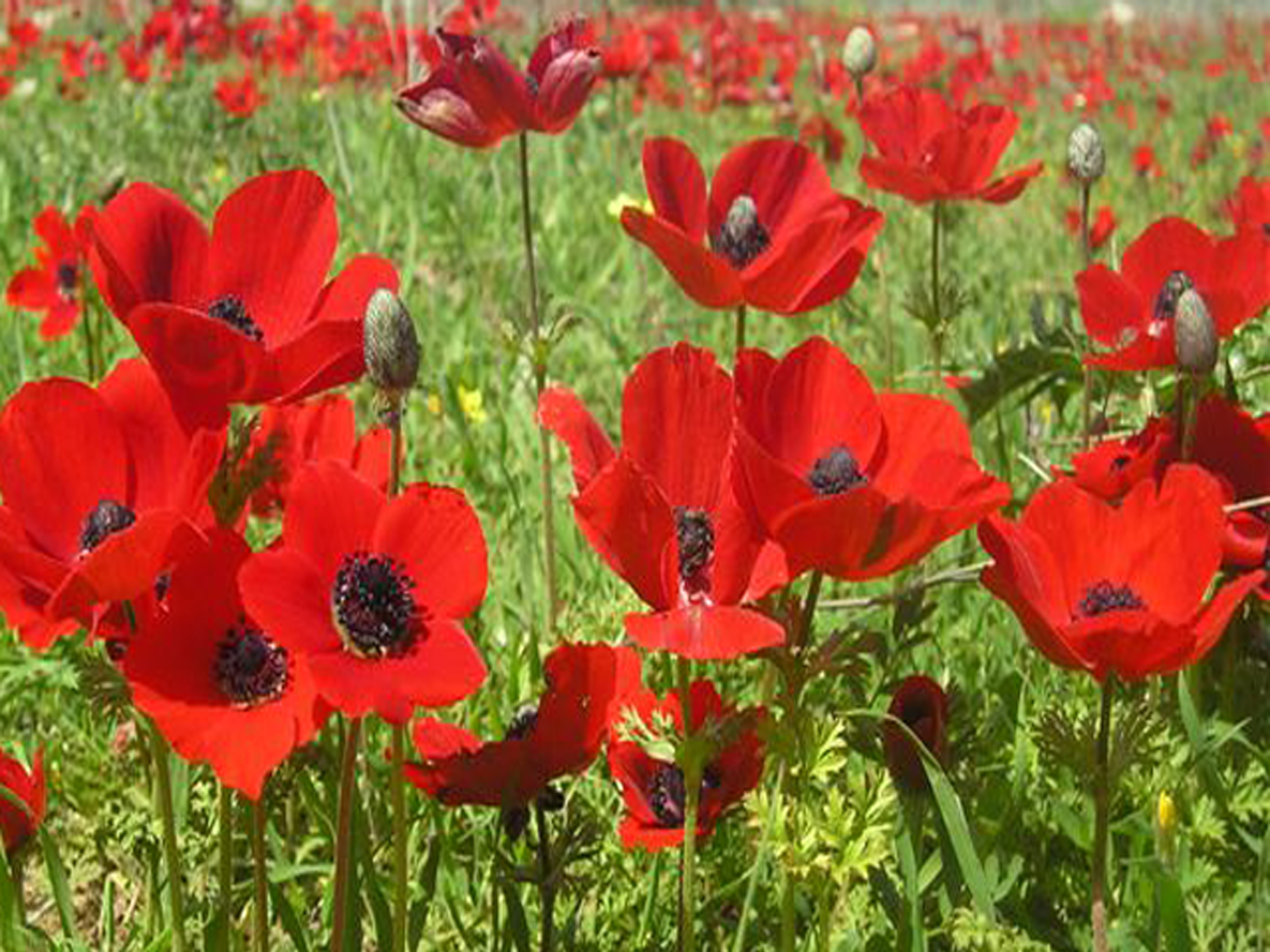 file pikiwiki israel 18425 field of poppies jpg wikimedia commons