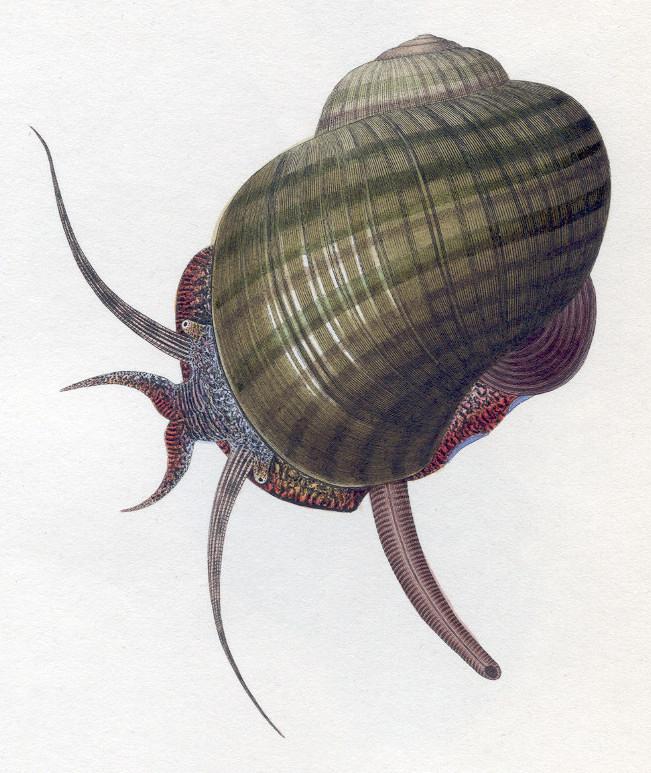 Siphon Mollusc Wikiwand