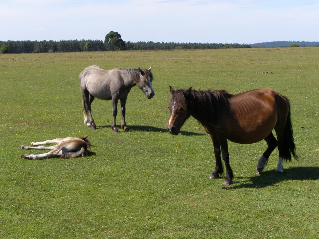 Ponies shading on Wilverley Plain, New Forest - geograph.org.uk - 191277