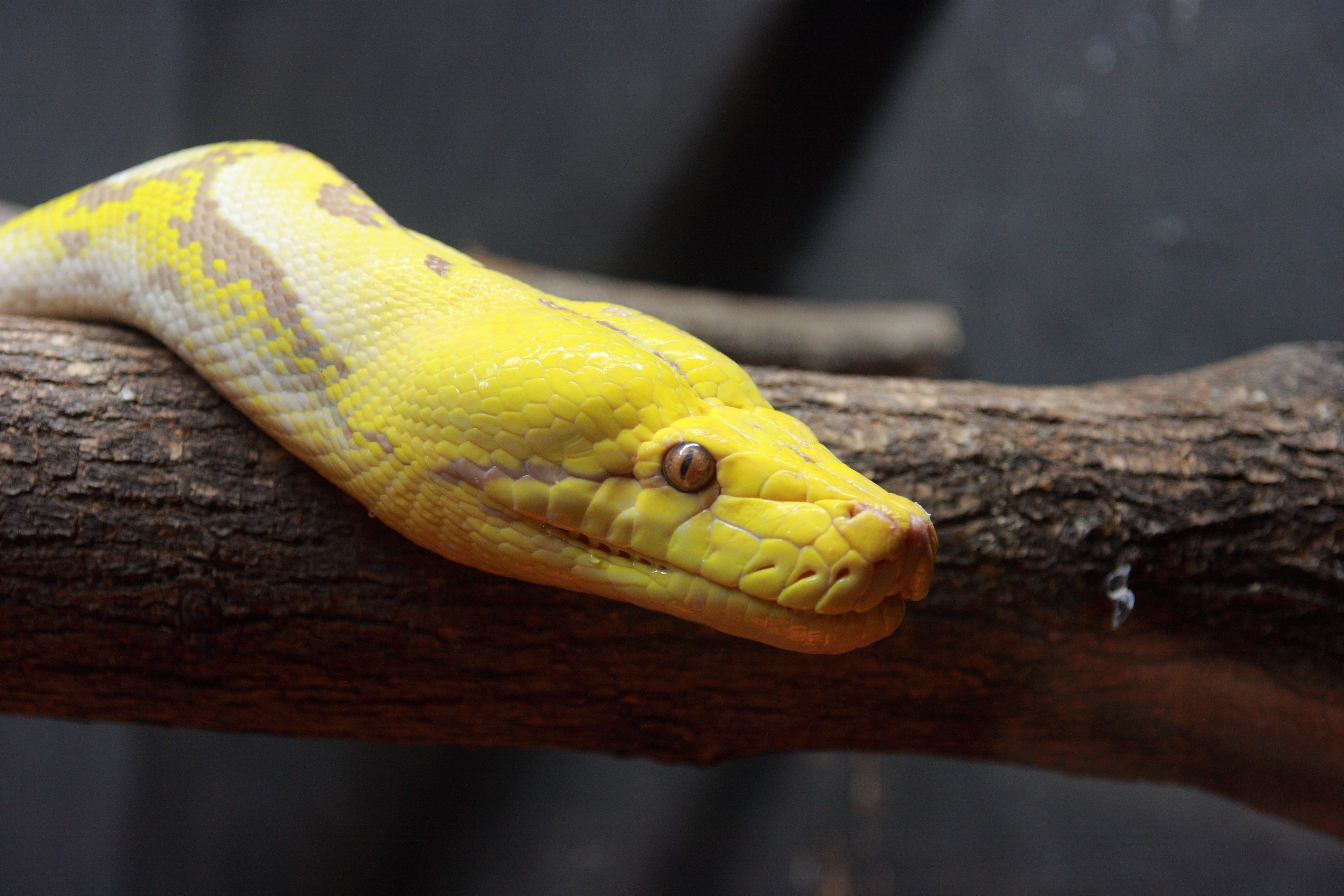 Baby Reticulated Python Reticulated python with an