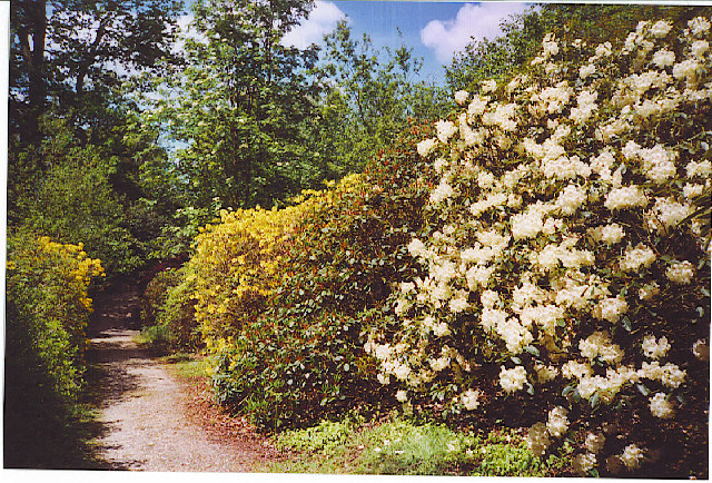 Rhododendrons in Leith Hill Wood - geograph.org.uk - 104996