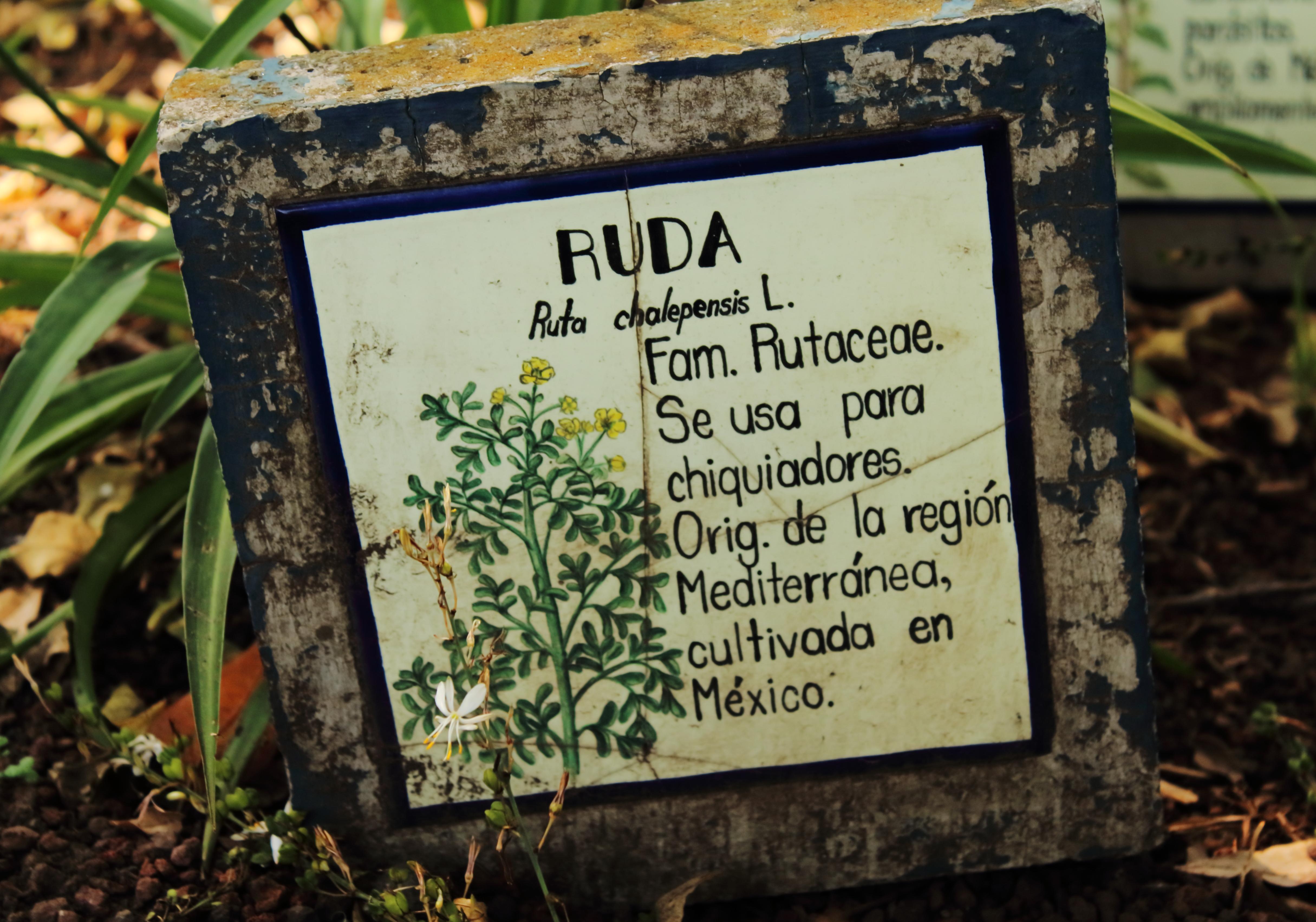 Archivo Ruta Chalepensis En El Jard N Bot Nico Jpg