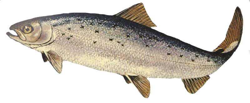 http://upload.wikimedia.org/wikipedia/commons/3/38/Salmo_salar_GLERL_1.jpg