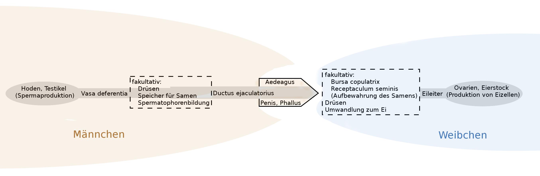 Aedeagus – Wikipedia