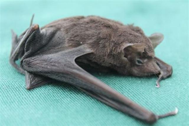 Seychelles sheath-tailed bat - dead