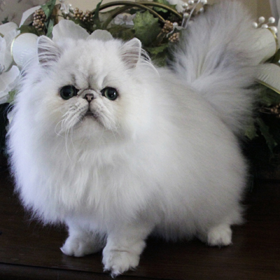 Persian Cat Rescue Centres Uk O