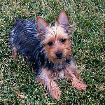 Australian Silky Terrier) - порода собак.