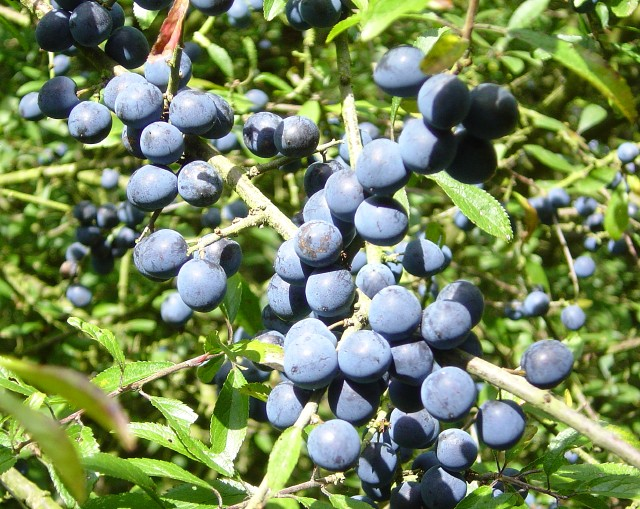 File:Sloes - geograph.org.uk - 244004.jpg