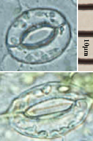 Archivo:Stomata open close.jpg