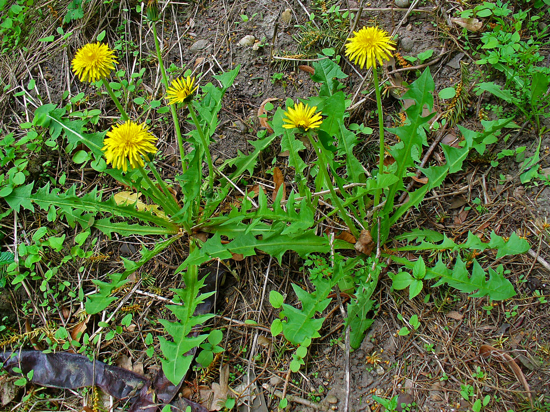 Description Taraxacum ...