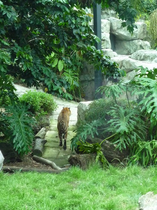 File:Tiger in Auckland Zoo.jpg. Size of this preview: 450 × 600 pixels.
