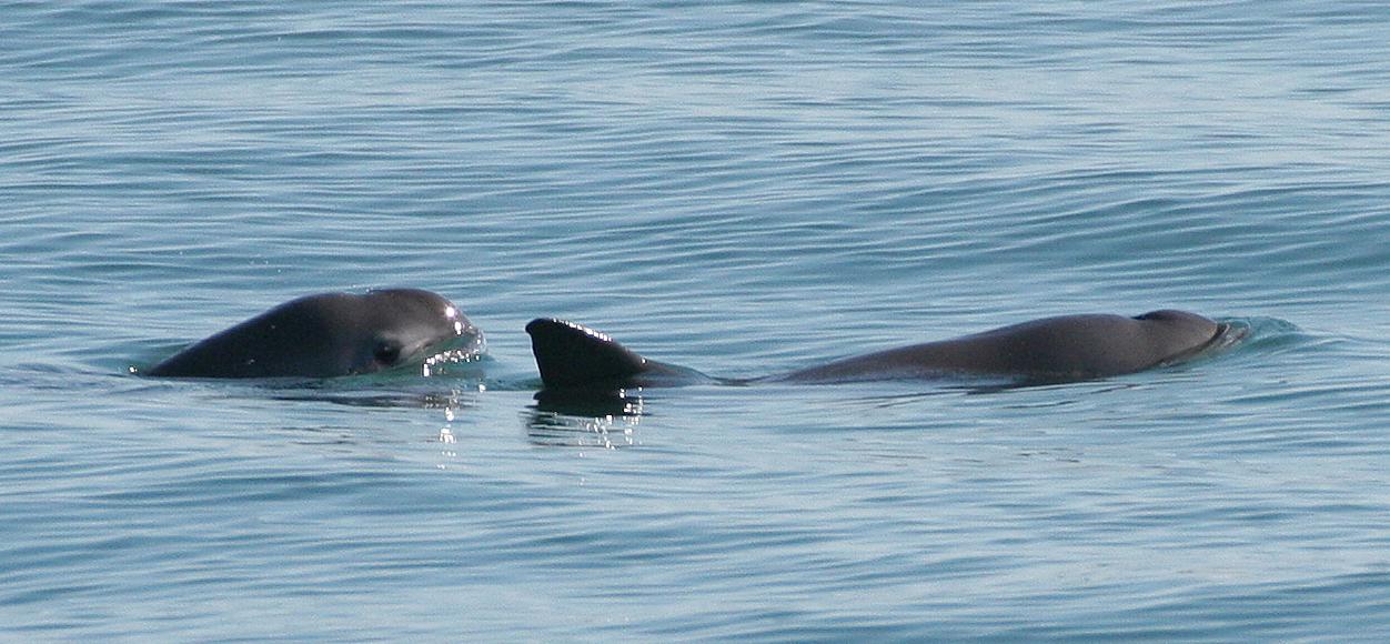 Kalifornische Schweinswale