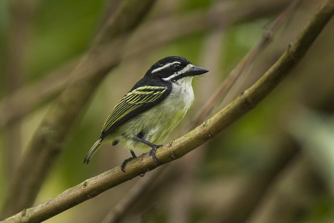 Yellow-rumped tinkerbird - Wikipedia