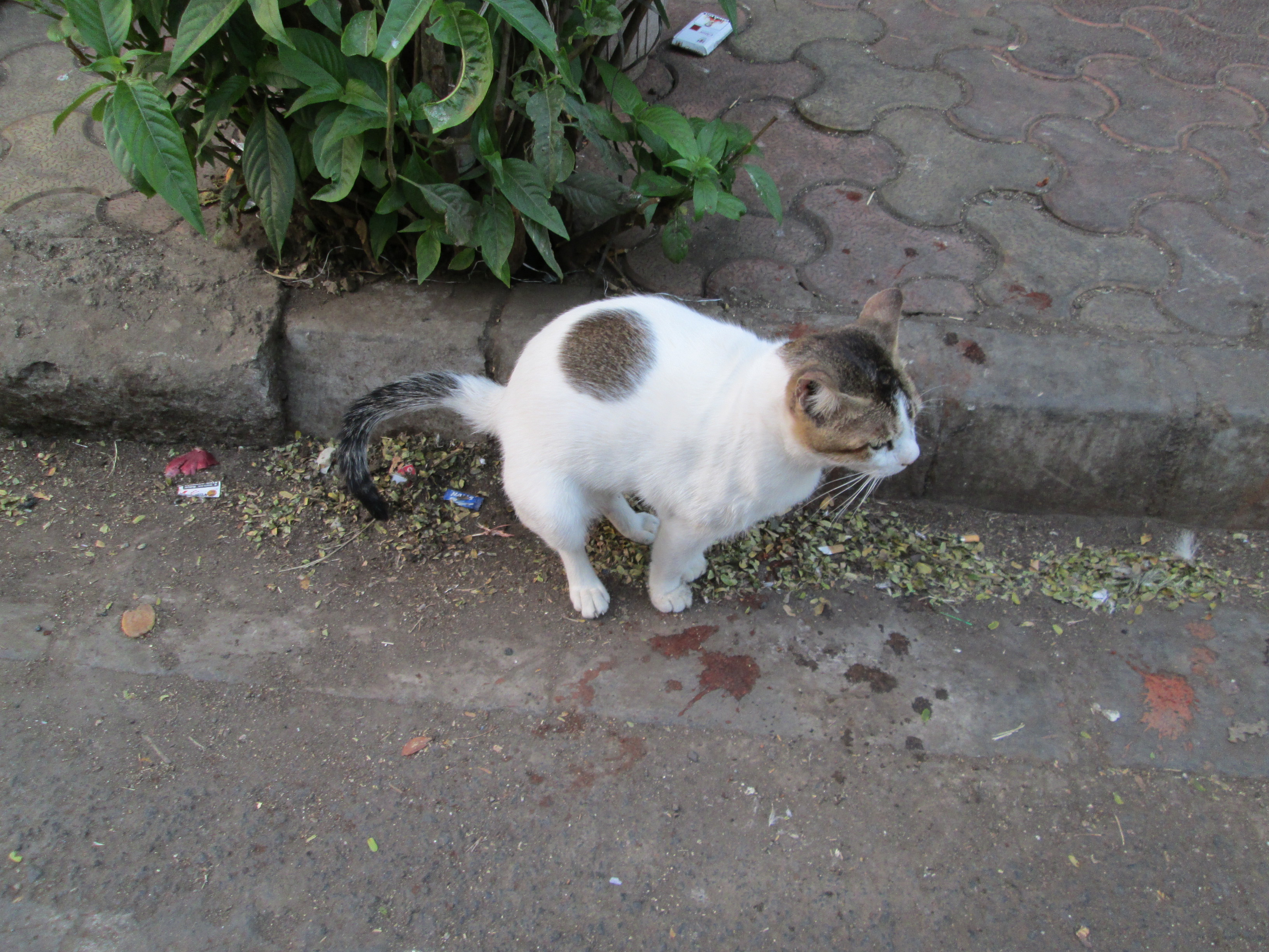 File Radhe Worli Fish Market Cat Defecating In The