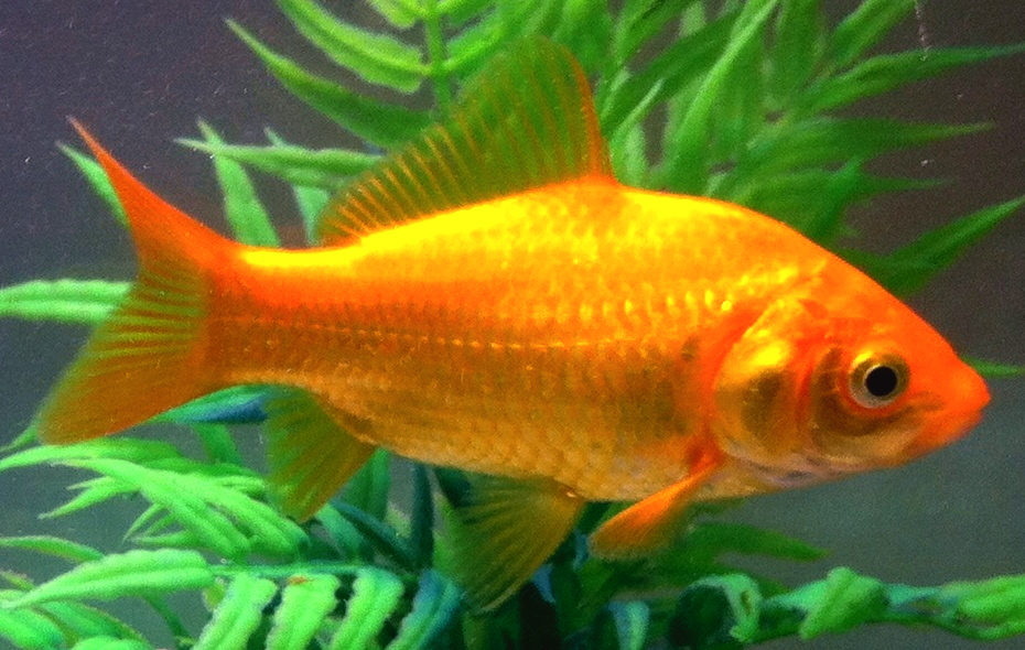 Goldfish | Common Goldfish Wikipedia