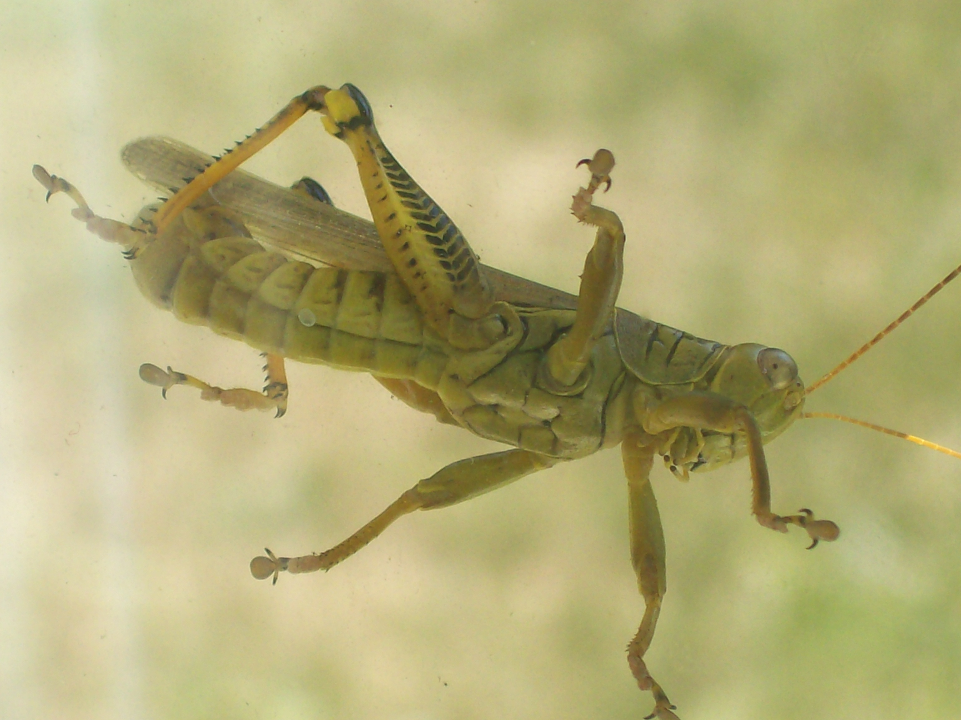 Rocky Mountain Grasshopper