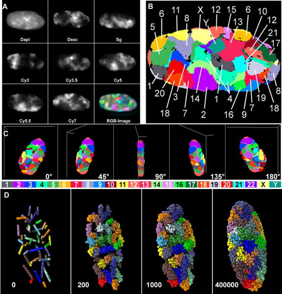 Datei:24-Color 3D FISH Representation and Classification of Chromosomes in a Human G0 Fibroblast Nucleus 10.1371 journal.pbio.0030157.g001-M.jpg