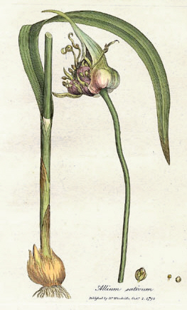 Tỏi (Allium sativum), hình trong Medical Botany, 1793, của William Woodville.
